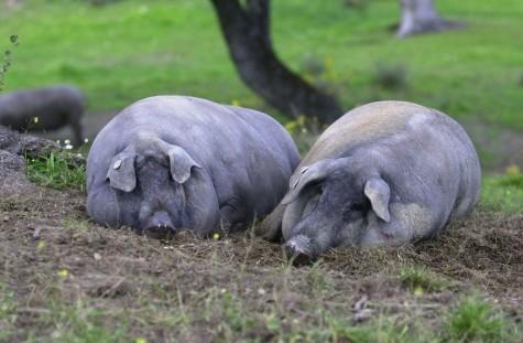 Cerdos en el campo. Foto Jamonesjpd.com