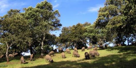 Cerdos en el campo. Foto Denominación de Origen Guijuelo.