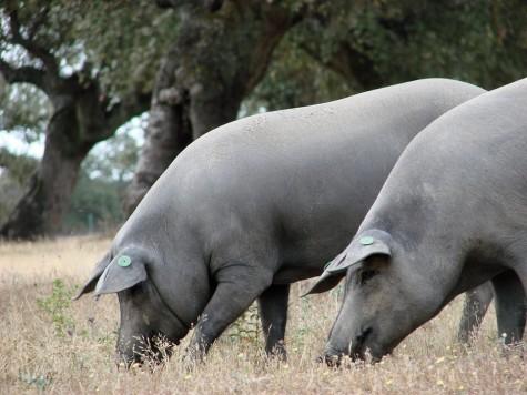 Cerdos en el campo. Foto Ruta del Jamón Ibérico de Guijuelo.