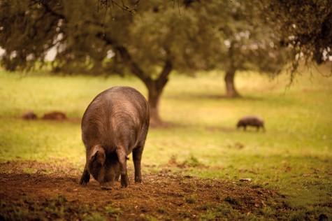 Cerdos en el campo. Foto Castro y Glez.