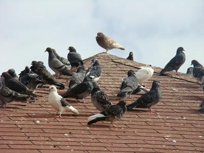 Palomas en los tejados. Foto plagasurbanasmendoza.blogspot.com