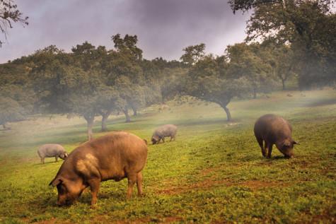 Cerdos en la Dehesa. Foto blog.castroygonzalez.es.