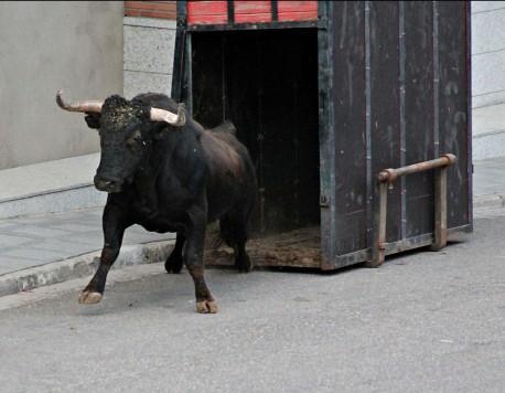 Toro del cajón. Foto Hnos. Rucio
