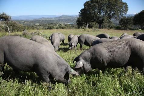 Cerdos en el campo. Foto Faustino Prieto.