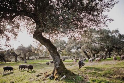 Cerdos en el campo. Foto Carrasco Guijuelo.