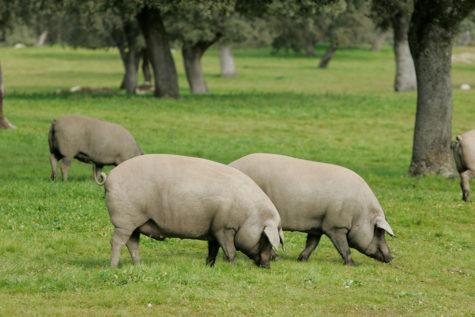 Cerdos en el campo. Foto Castro y González.