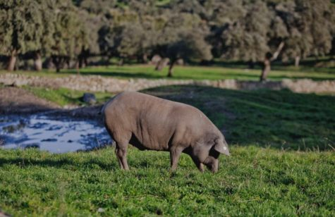 Cerdo en el campo. Foto Carrasco Guijuelo