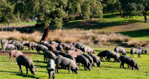 Cerdos en el campo. Foto Castro y González