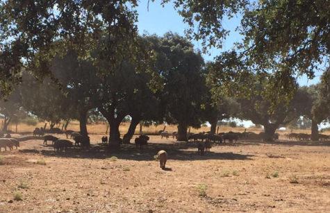 Cerdos en el campo.