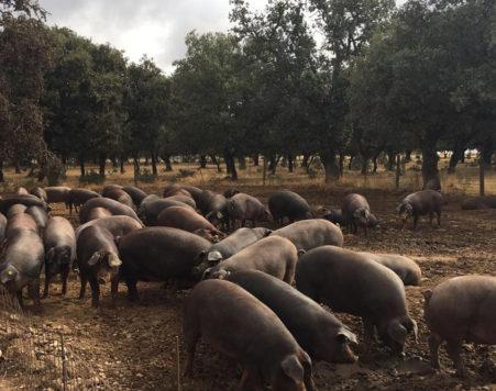 Cerdos en el campo. Foto Francisca Rodríguez.