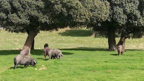 Cerdos en el campo. Foto Faustino Prieto