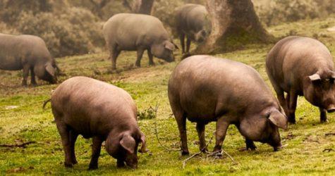 Cerdos en el campo. Foto DOP Guijuelo.