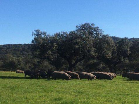 Cerdos en el campo. Foto Aljomar