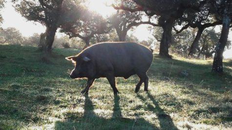 Cerdos en el campo. Foto Carrasco Guijuelo