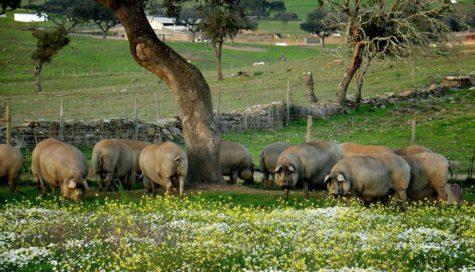 Cerdos en el campo. Foto Julián Martín