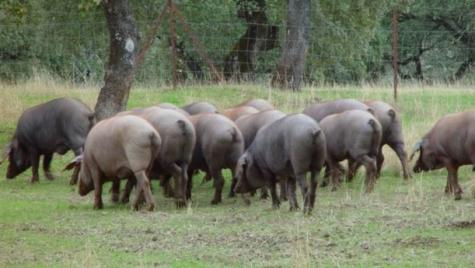 Cerdos en el campo. Foto DOP Guijuelo