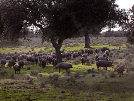 Cerdos en el campo. Foto Marcial Castro