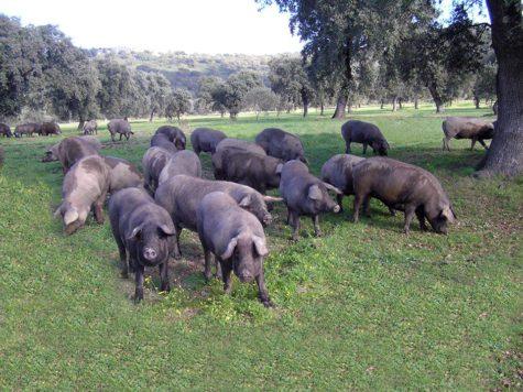 Cerdos en el campo. Foto Don Saturnino
