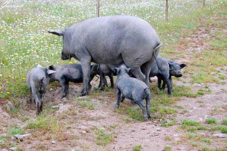 Cerdos en el campo. Foto elgranjamón.es