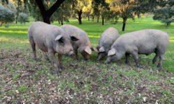 Cerdos en el campo. Foto: Archivo.